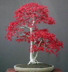 盆栽 Bonsai 盆景 Bonsai карликовое дерево