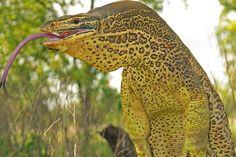 Australian Yellow Spotted Monitor