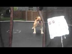 Hilarious! This dog likes to jump on the trampoline :-D #dog #video