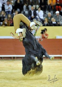 The perfect Pega. Brave Animals, Big Animals, Animal Heros, Portugal, Rodeo Events, Bucking Bulls, Bull Riding, Pamplona, Fun To Be One