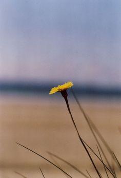 gelbe Blume am Strand, Foto: S. Hopp