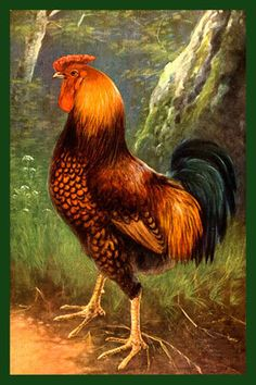 rooster postcard vintage | ... National Parks | Bozeman Montana : Chickens - Red with Black Rooster
