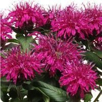 Monarda 'Balmy Purple', is a beautiful dwarf bee balm with eccentric purple blooms in early summer. A favorite of bees, butterflies, and hummingbirds bee balm has tubular flowers full of nectar for th Purple Plants, Tropical Plants, Garden Art, Garden Plants, Dream Garden, Garden Ideas, Beautiful Gardens, Beautiful Flowers, Wholesale Plants