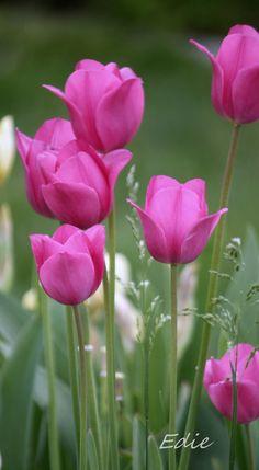 Hot Pink by Purple Tulips, Tulips Flowers, Flowers Nature, My Flower, Pretty Flowers, Spring Flowers, Lotus Flower Wallpaper, Flower Backgrounds, Amazing Flowers