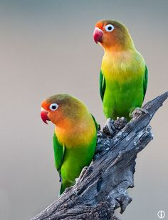 Parrots Cute Birds, Pretty Birds, Beautiful Birds, Animals Beautiful, Beautiful Pictures, Tropical Birds, Exotic Birds, Colorful Birds, African Lovebirds