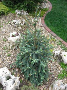 Picea glauca var.densata 'Coerulea