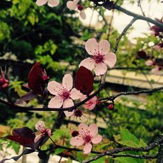 My beautiful cherry tree blossoms on a rainy day...