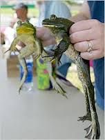 Image result for calaveras frog jump