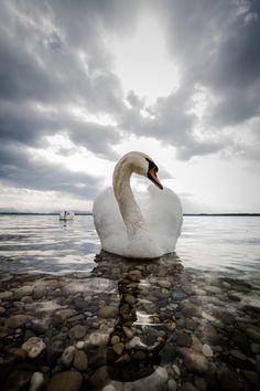 celebrity swan at Lake Starnberg photo by Jorg Wendland
