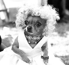 Chihuahua Marilyn Monroe.  Fabulosity.