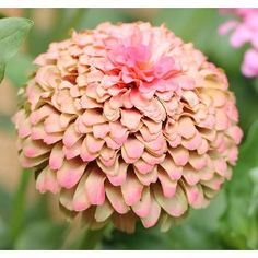 Sweet Nothings Zinnia Flower
