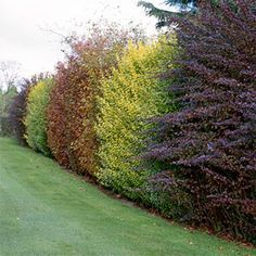 Growing a thick hedgerow, rather than building an esthetically harsh fence, is an excellent option for privacy. Growing a thick hedgerow, rather than building an esthetically harsh fence, is an excellent option for privacy. Privacy Landscaping, Backyard Privacy, Backyard Fences, Garden Fencing, Lawn And Garden, Pool Fence, Cerca Natural, Garden Hedges, Fence Plants