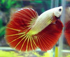 Dragonscale is a beautiful gene that bettas can be bred to have. They have thicker scales than normal bettas and it makes them look like 'dragons'! It's very lovely!