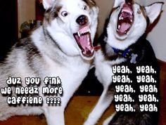 Moon Moon and his brother on caffeine! Snow Dogs, I Love Dogs, Dog Pictures, I Laughed, Husky, Lol, Moon Moon, Animals, Caffeine