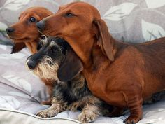 ... There are three DACHSHUND'S they are all soo cute and sweet AWWWWWWWWWWWWWWWWWWWW. Two of those DACHSHUND'S look like my old DACHSHUND Spanky.