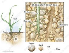 Cross Section of Soil<span class='fancycitationfont'>© Alison E. Burke and Cassio Lynm.</span>
