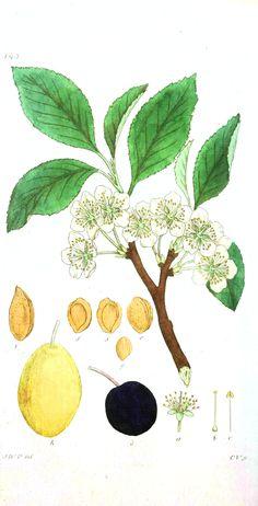 Botanical - Flower - Almond flower.jpg (1768×3465)