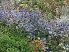 Annie's Little Plot: A new local nursery discovered: Steely blue Eryngiums