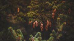 Preview wallpaper cones, pine, needles 1366x768