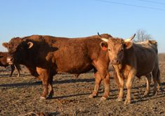 """Dexter cattle are among the smallest of cattle breeds in the world, standing 40"""" tall and weighing 700–900 pounds. Though size is the breed's most distinguishing characteristic, the Dexter is a useful and productive, multi‑purpose animal."""