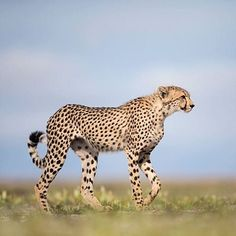 A young male cheetah | Photography by @willbl