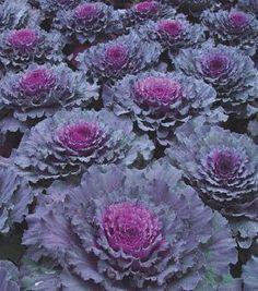 cabbage osaka red