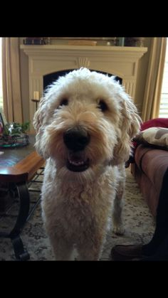 Short ears and short haircut on a goldendoodle. Goldendoodle Haircuts, Goldendoodle Grooming, Poodle Grooming, Mini Goldendoodle, Dog Grooming, Goldendoodles, Labradoodles, Puppies Tips, Cute Puppies