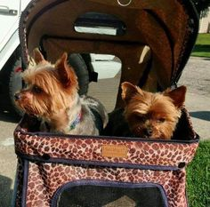 Zoe & Simmie (bonded sisters) Yorkshire Terriers available for adoption in Michigan