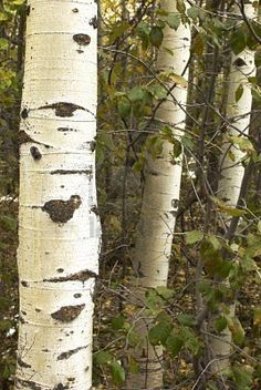 birch trees carry such profound beauty. they're scarred but so elegant and continue to grow tall. right up there with the Tulip Poplar for my fave tree! woohoo!