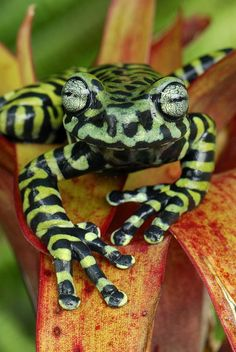 Tiger's Treefrog - via Jean-Pierre Truant