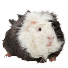 This is the guinea pig that i want . its a boy and his name will be PIPPA