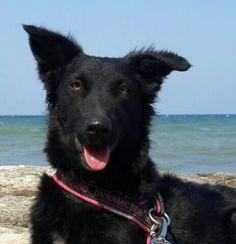 Clorex 10 mesi, solo 15 kg. la Sirenetta di Bari di mitologica bellezza! - http://hormiga.it/clorex-6-mesi-molto-dolce-ed-affettuosa-bellissimo-manto-nero-e-ondulato-sembra-vellutata/ Adoption, Adozioni Cani, Adozioni urgentissime, Bellissimi Black Dog