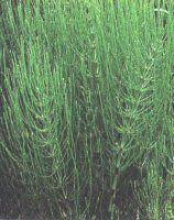 A cavalinha possui folhas pequenas em formato de agulha, sendo uma planta que não possui flores nem sementes.