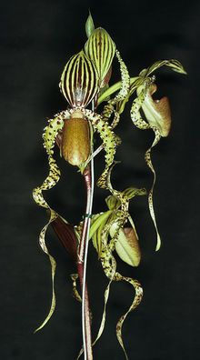 Unusual Flowers, Unusual Plants, Most Beautiful Flowers, Rare Plants, My Flower, Flower Pots, Lady Slipper Orchid, Orchid Seeds, Rare Orchids