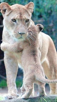 Cute Wild Animals, Cute Funny Animals, Cute Cats, Pretty Cats, Beautiful Cats, Animals Beautiful, Nature Animals, Animals And Pets, Big Cats