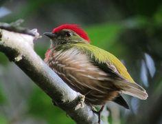 Machaeropterus regulus / Saltarín rayado / Striped Manakin (male) | Flickr - Photo Sharing!