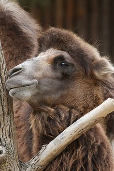 Bactrian Camel by Mark Dumont