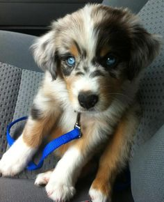 Blue Merle mini Australian Shepard! How adorable :)
