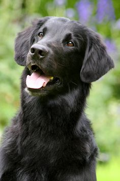 Flatcoated Retriever by SaNNaS.deviantart.com on @DeviantArt