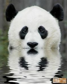 pandas. are. perfect. just ask fifth grade me, i wrote a 5 page research paper.