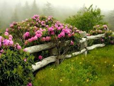 Rhododendrons along an old country fence! <3