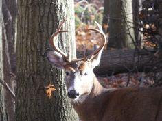 Young Buck, Goats, Ohio, Deer, Animals, Columbus Ohio, Animales, Animaux, Animal