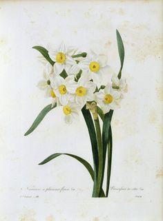 Image: Artist Artist - Bunch-flowered Narcissus / Redouté