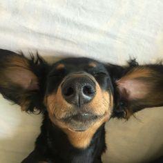 #dachshund #teckel # perro # salchicha # dog # dogs #smile #nose