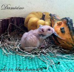Damiáno chs in blue hamster Blue, Animals, Animales, Animaux, Animal Memes, Animal, Animais, Dieren