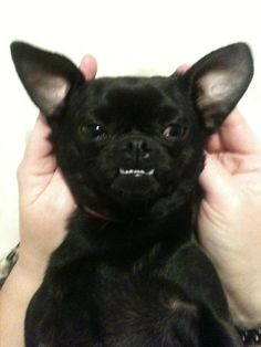 Psycho YODA aka Diva the Chug. Looks like our Chug Remi with the under-bite!