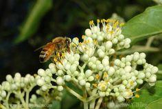 Korean Evodia, (Bee Bee Tree), Evodia danielli, Tree Seeds (Fast, Fragrant)