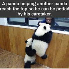 Tag your panda friend. Cute Funny Animals, Cute Baby Animals, Animals And Pets, Funny Cute, Wild Animals, Hilarious, Pandas Baby, Baby Panda Bears, Giant Pandas