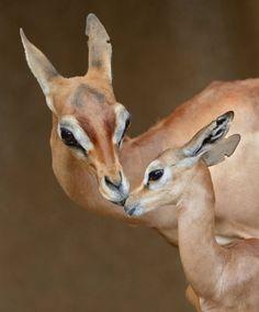 "Impala (Aepycerus melampus) mother grooming fawn, Serengeti National Park, Tanzania."" (Image: ""photo: Mike Wilson"".)"