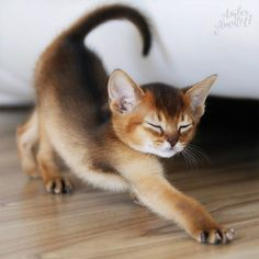 Cute Baby Cats, Cute Cats And Kittens, Cute Baby Animals, Kittens Cutest, Animals And Pets, Abyssinian Kittens, Newborn Kittens, Kitten Care, Pretty Animals